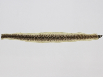 "Rattlesnake Skin with No Rattle: Assorted (40"" to 47"" including rattle)"