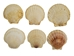 Japanese Scallop Shell: Assorted - 1345-10-AS (L27)