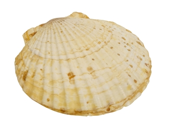 Japanese Scallop Shell: Assorted