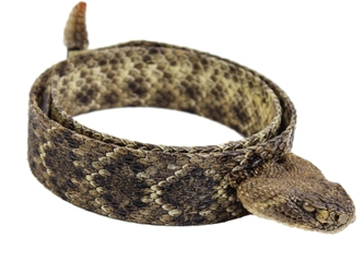 "1.25"" Real Rattlesnake Hat Band with Head & Rattle: Closed Mouth rattlesnake hatbands"