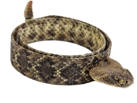 "1.25"" Real Rattlesnake Hat Band with Head & Rattle: Closed Mouth"