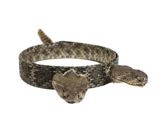 "1"" Real Rattlesnake Hat Band with Rattle and 2 Heads (Closed Mouths) rattlesnake hatbands"