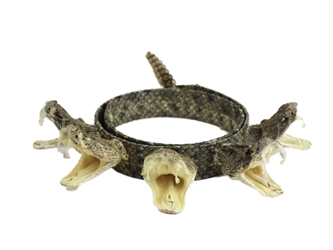 "1"" Real Rattlesnake Hat Band with Rattle and 5 Heads (Open Mouths) rattlesnake hatbands"