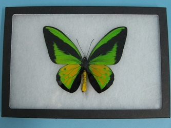 Framed Butterfly: Ornithoptera goliath: Gallery Item