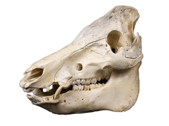 Wild Boar Skull with tusks: Gallery Item