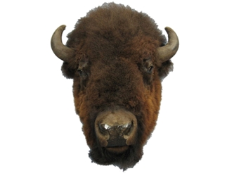 Buffalo Head Mount: Extra-Large: Gallery Item
