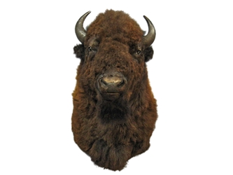 Buffalo Shoulder Mount: Gallery Item