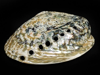 Polished African Abalone Shell: X-Large: Natural Color: Gallery Item