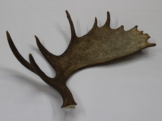 Whole Moose Antler Sheds: #1: Gallery Item