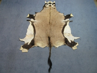 Gemsbok Skin: Gallery Item