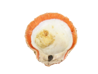 Spiny Oyster Shell: Red Orange #1: Gallery Item