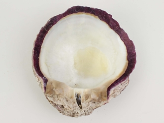 Spiny Oyster Shell: Purple #1: Gallery Item