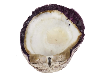 Spiny Oyster Shell: Purple #2: Gallery Item
