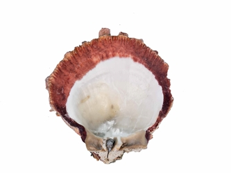 Spiny Oyster Shell: Orange #1: Gallery Item