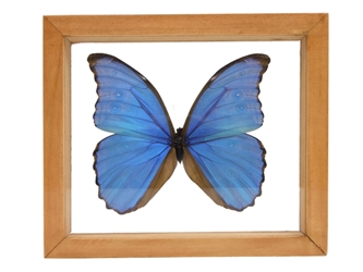 Framed Butterfly: Blue Morpho: Gallery Item