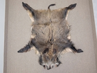 Wild Boar Skin: Large: Gallery Item