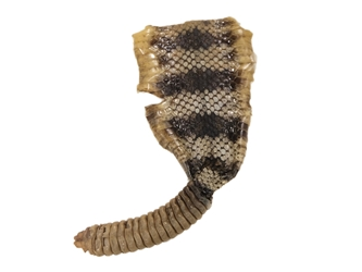 Trophy Grade Real Rattlesnake Rattle and Skin Piece: Gallery Item